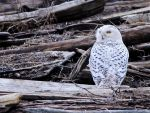 Snowy owls VI by laufiend