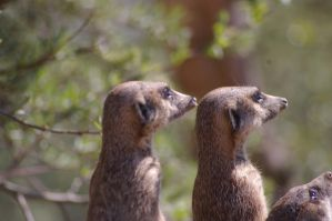 Meerkats X by expression-stock