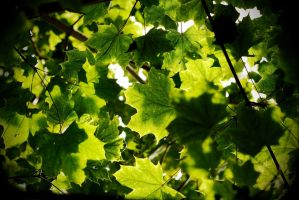 Green leaves by andabata