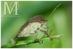 Stink Bug by microcosmos