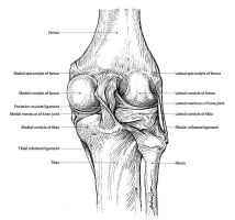 Ligaments of the knee joint (Posterior view) by thelastmiracle