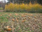 Pumpkin Patch Stock by JellySandwich