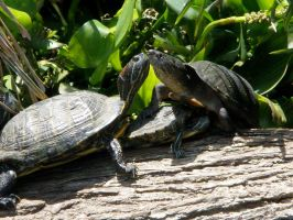 Turtle Love by ThruTheLens811