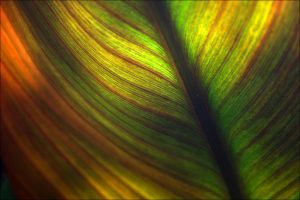 Banana leaf by raido-ehwaz