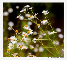 daisies by bracketting94