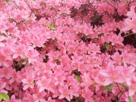 Pink Rhododendron by Fritsa-Wolf