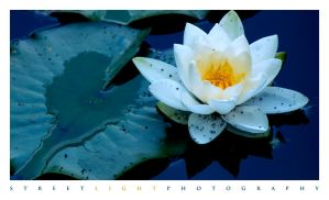 Water Lilly 2 by UrbanRural-Photo