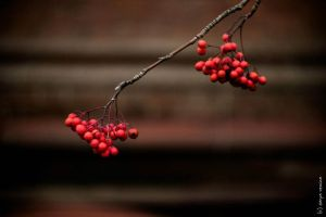 Rowanberry by creamypeach