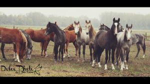 one and half year old arabian colts by DolceePhotography