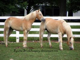 Haflinger 10 by EquineStockImagery