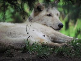 White Wolves at Rest by SubRosa-undertherose