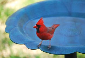 Cardinal at the Bath by jennalynnrichards