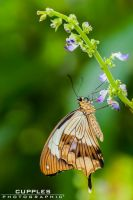 Bluebell Butterfly by cupplesey