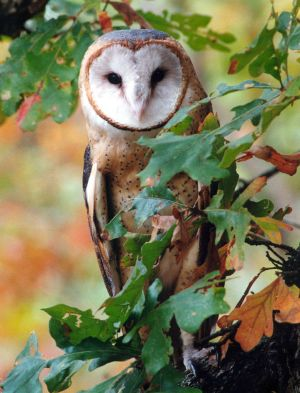 Barn Owl by jnevitt