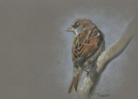 House sparrow : Pastel pencil on Pastelmat by wimke