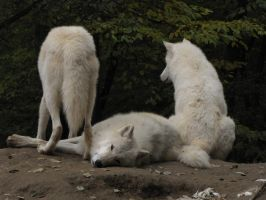 North American Arctic Wolf 27 by animalphotos