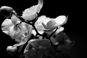 black and white orchid by freye