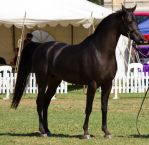 STOCK - TotR Arabians 2013-312 by fillyrox