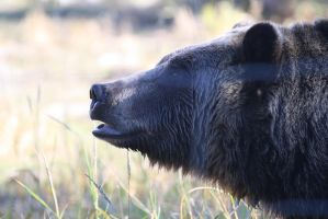grizzly bear II by davidst123