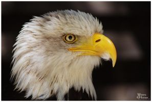 Bald Eagle Portrait by W0LLE