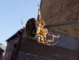 Spider by Clangston