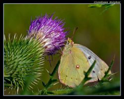 Sulphur on a Thistle by boron