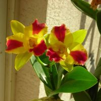Yellow-red Orchid Flower by Tonar