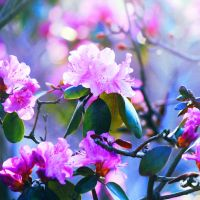 Rhododendron by incolor16
