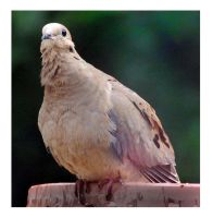 Alert Mourning Dove by richardcgreen