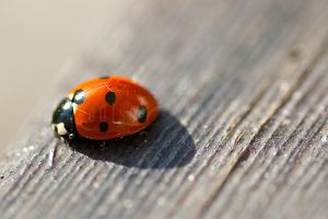 The first ladybird this year by Lullsstar