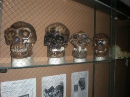 Evolution Of The Human Skull by buckymike