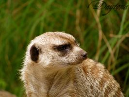 Meerkat Looking Back by DaytonaBlue64Impala