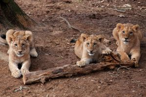 Lion Cubs by CharlesWb