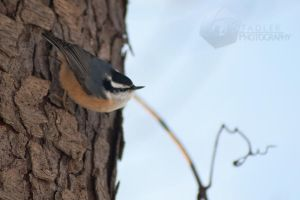 Red-Breasted Nuthatch by shaguar0508