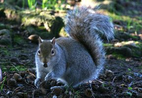 Grey Squirrel I by fraughtuk