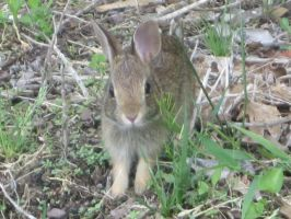 My baby bunny friend(close up) by ScarabsCorner