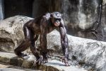 Great Apes by DGPhotographyjax