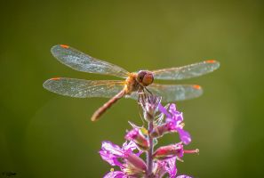 Ruby Meadowhawk Dragonfly by Nini1965