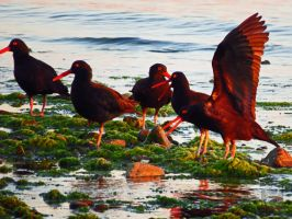 Playful Oyster Catcher by wolfwings1