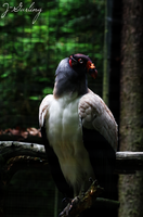The King Vulture by Hotelfachfrau