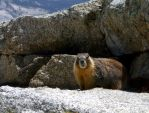 The Marmot by dshack
