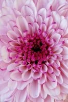 Closeup of pretty pink chrysanthemum by a6-k
