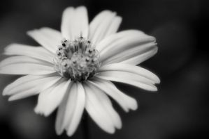 Black and White Flower by sciph