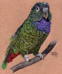 Commission - Hardy the Pionus by KristynJanelle