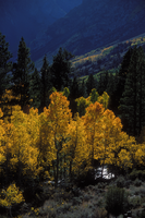 Near June Lake - Aspens by shagie