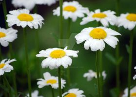 Daisy Forest by StaticFactory