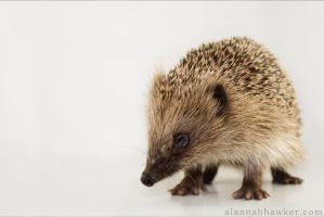 Hoglet by Alannah-Hawker