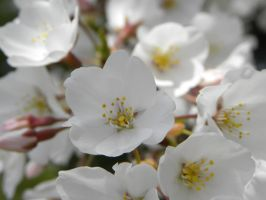 Cherry Blossoms of April - 4 by JennHolton