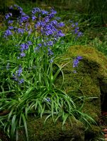 Bluebells Rock by nectar666