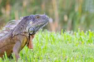 Iguana head by LordMajestros